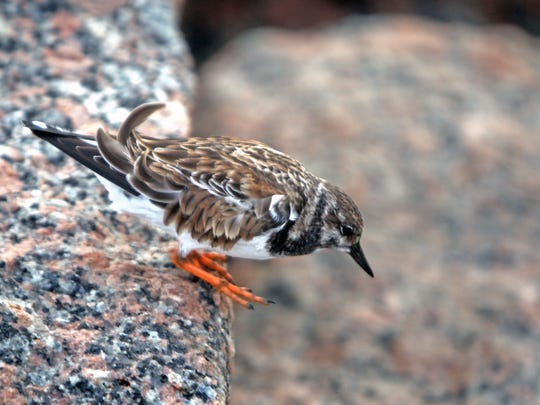 This ruddy turnstone, a common jetty species, is about