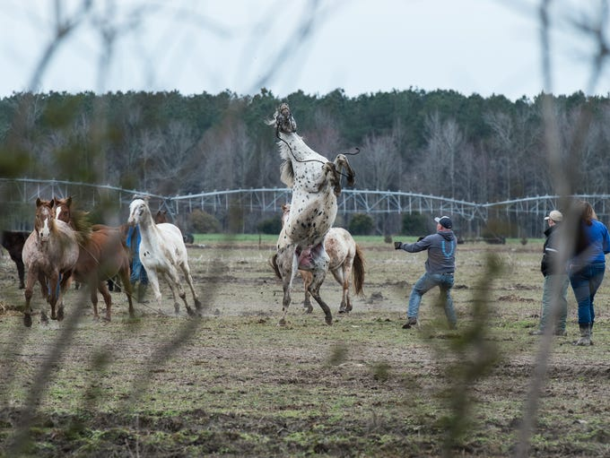 A horse breaks away from its handler at a farm on Cherry