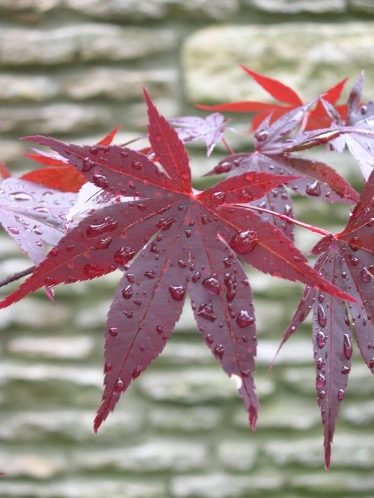 Queen Of The Garden Japanese Maple