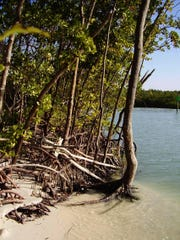 Barrier islands encompass a variety of habitats, such as these mangroves and estuary at Barefoot Beach Preserve.