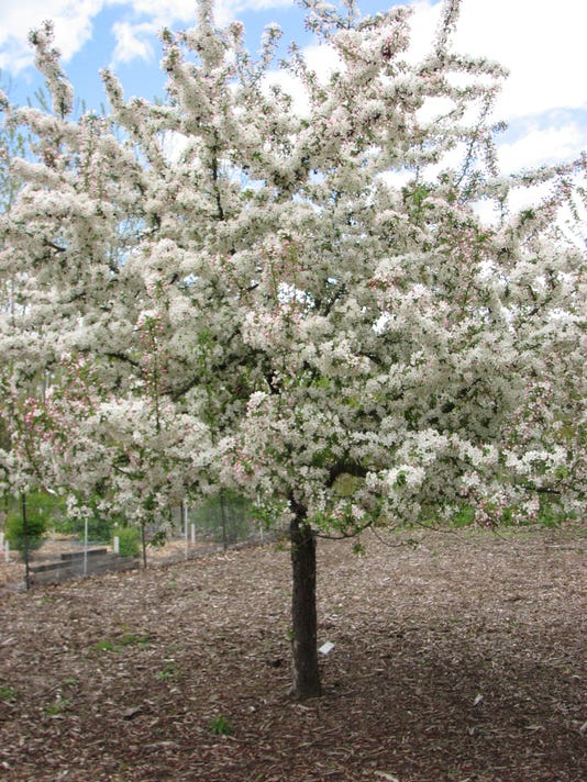 Fruitless Crabapple Tree Colorado