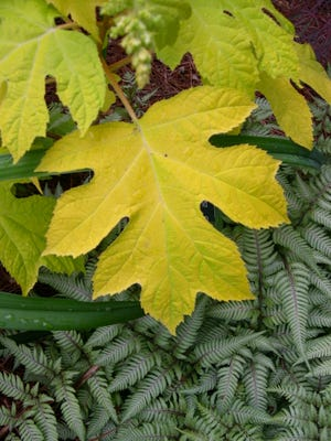 The bold (and gold) foliage of 'Little Honey' oakleaf hydrangea (Hydrangea quercifolia) contrasts nicely with the lacey fronds of Japanese painted fern (Athyrium nipponicum var pictum)