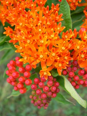 The brilliantly orange colored butterfly milkweed is a Kentucky native and first-rate garden plant.