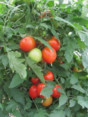Tomatoes on a vine.