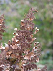 Pee Gee Hydrangea flower head