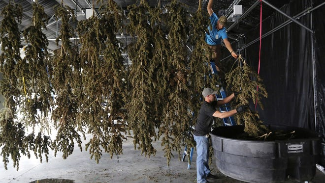 In this Oct. 4, 2016, file photo, farm workers inside a drying barn take down newly-harvested marijuana plants after a drying period, at Los Suenos Farms, America's largest legal open air marijuana farm, in Avondale, southern Colo. Weed is winning in the polls, with solid majorities nationwide saying marijuana should be legal. But the government still has many means to slow or stop the marijuana train. And President-elect Donald Trump's nomination of Alabama Sen. Jeff Sessions to be the next attorney general has raised fears that the new administration could crack down on weed-tolerant states.
