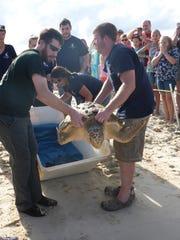 The crowd watches on as Amazon the loggerhead sea turtle