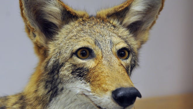 Florida Fish and Wildlife Conservation Commission officials displayed a stuffed coyote during a Feb. 11 coyote town hall at the Gleason Park Community Center in Indian Harbour Beach.