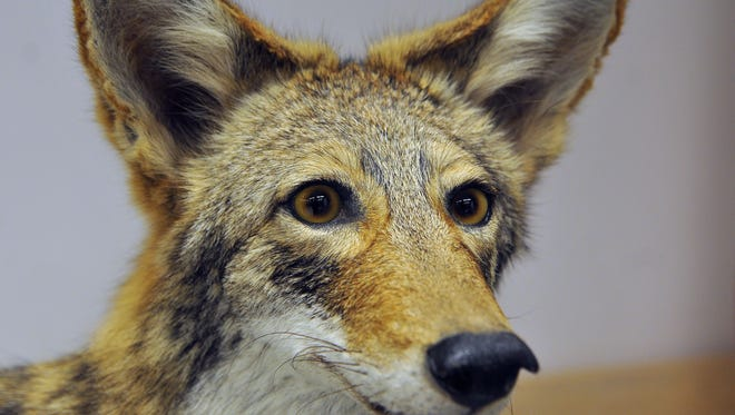 A stuffed coyote was on display during a Florida Fish and Wildlife Conservation Commission town hall in Indian Harbour Beach in February.