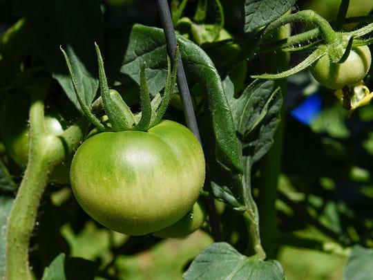 Tomatoes form on the vines of  Douglas Yozamp's plants