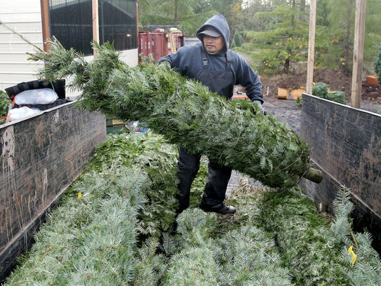 Benito Flores loads trees at the Olmsted Tree Farm on Clear Creek Road in Poulsbo for shipment to the Silverdale sales lot on Wednesday.