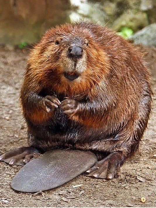 635808921119427573-Beaver