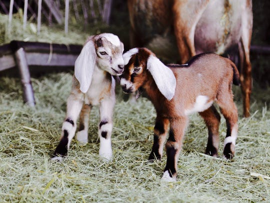 Baby goats at Angeles Crest Creamery in Valyermo, Calif.