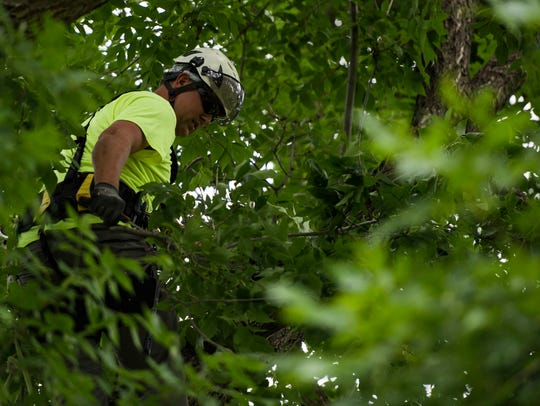 Fort Collins forestry technician Phil Lubke uses climbing gear and a handsaw to prune an ash tree on  June 18, 2018, at City Park .