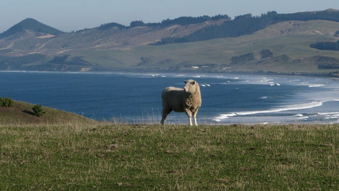 This sheep pasture is at Katiki Point, about an hour's drive north of the city of Dunedin in New Zealand's South Island.