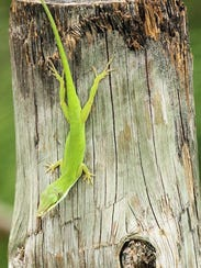 If young photographers see a green anole, they will