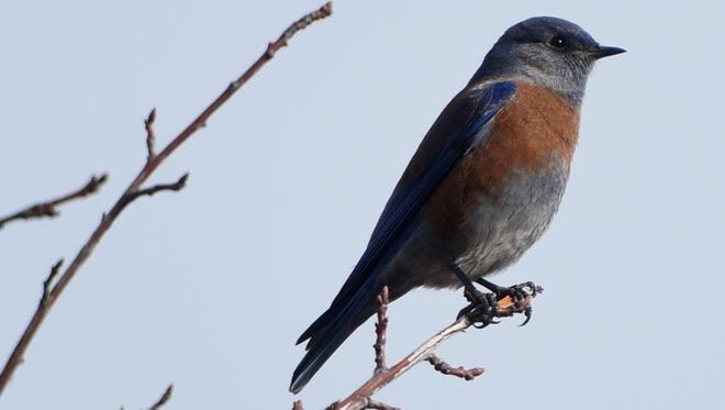 A western bluebird perches on a tree during the Audubon Christmas Bird Count in December near the Riverside Nature Center on the Animas River in Farmington. The western bluebird is one of 235 species identified as species of greatest conservation need in the draft New Mexico wildlife action plan.