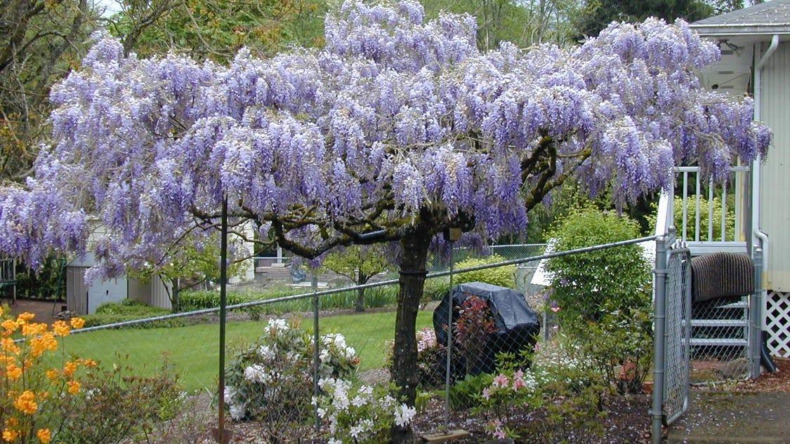 28 best vermont garden journal growing wisteria our garden journal wonderful wandering - Growing french walnuts for a profit ...