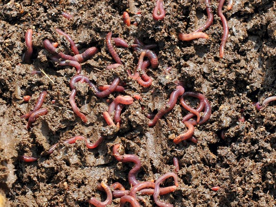 Grow Local South Texas will host Vermicomposting 101 from 10 a.m. to noon Saturday, Sept. 16 at The Learning Garden, 3808 Up River Road. Shirin Delsooz will teach the basics of vermicomposting, the process of composting using worms. Cost: Free for Grow Local members, $5 nonmembers. Information: www.growlocalstx.com.