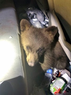 This June 2, 2017, photo provided by the Woodland Park Police Department shows a bear cub that was found trapped in the rear seat floor of a car in Woodland Park, Colo. The bear was eventually freed and released into the woods. (Woodland Park Police Department via AP)