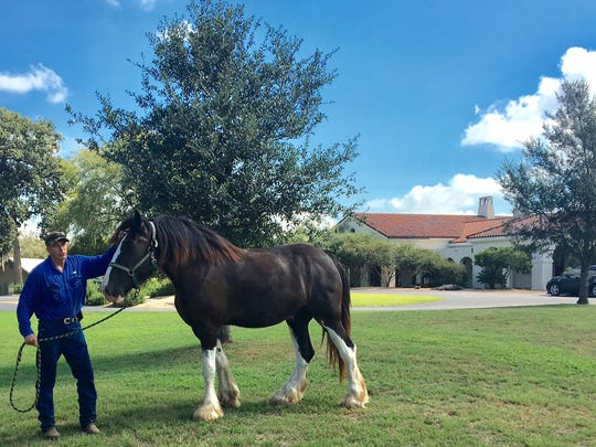 Beautiful Clydesdales at the ranch
