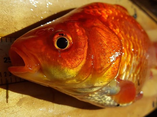 You can help control the spread of goldfish in Chesapeake Bay  by caring for them properly and disposing of them responsibly.