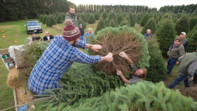 Families pick out trees at the Coleman Christmas Tree Farm in Odessa last year. There are about 30 different Christmas tree farms in the state.