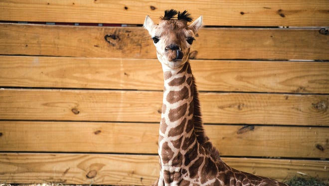 """April the giraffe's calf sits in his pen Monday, April 17, 2017, two days after being born at Animal Adventure Park in Harpursville, N.Y. On Monday, May 1, 2017, the park announced the giraffe will be named Tajiri, or """"Taj"""" for short."""