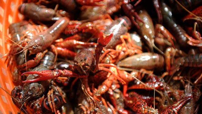 More than 5,000 pounds of live crawfish was ordered for the 10th annual Cajun Fest Saturday, May 13, 2017, in the Downtown Farmer's Market at Eighth and Ohio. Proceeds from the event are split between the Downtown Wichita Falls Development Inc. programs and the Elks Lodge #1105 charity fund.