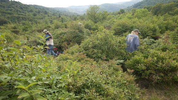 The Graveyard Fields area on the Blue Ridge Parkway is one of the most popular sites for visitors to go hiking and blueberry picking