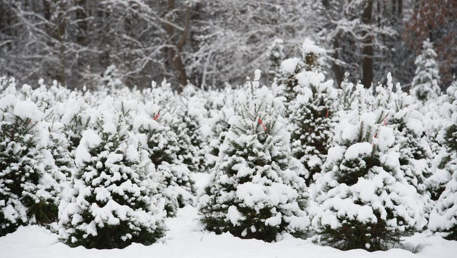 It's still a bit too early to tell if Wichita Falls will have a white Christmas this year like the one seen here at Pine Hollow Christmas Tree Farm in Milton, Delaware, said a National Weather Service meteorologist.