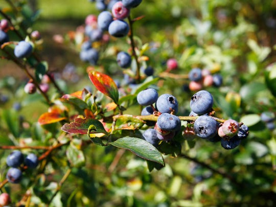 The blueberries grown at Blueberry Springs are a species