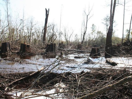 Logging site within the Cypress Tupelo swamp in the Atchafalaya Basin.