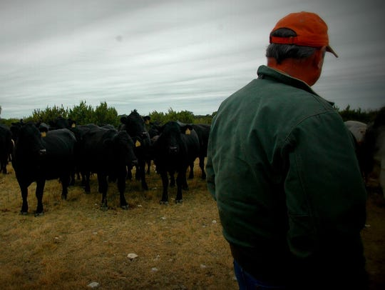 Gary studies the cattle herd prior to making culling