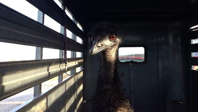 Odessa's runaway emu was safely captured Thursday, and will be sent to a veterinarian for care.