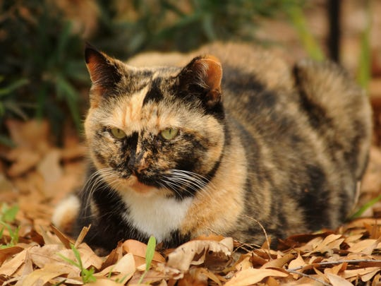 A feral cat, camouflaged in the dead leaves of the same color, hangs out in the historic Eau Gallie area of Melbourne. Rockledge resident Gail Stewart-Iles wants the county to subsidize spaying and neutering of cats for low-income residents who cannot afford the procedures for their pet cats and for the feral cats they care for.