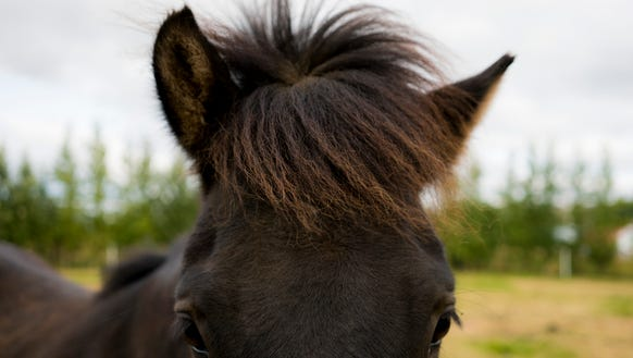 An Icelandic horse roams the countryside of Iceland