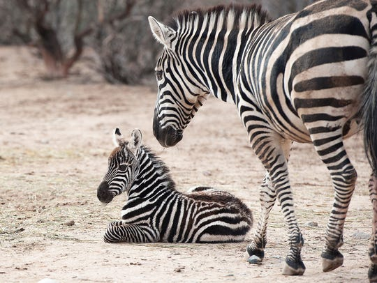 A baby zebra named Oasis was born to mom Mirage just