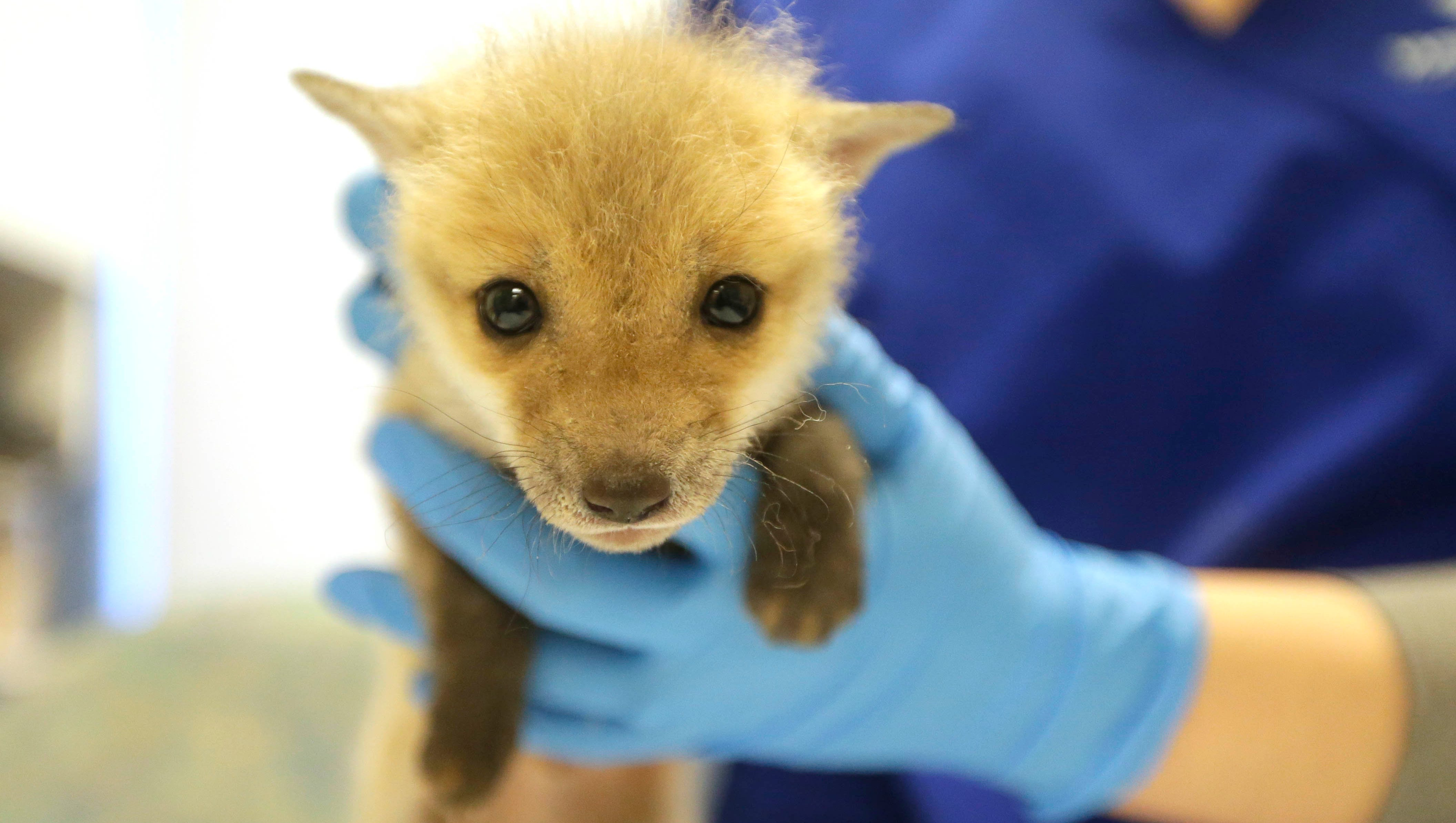 wisconsin humane society abandoned baby fox kit clover is