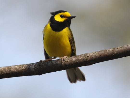 Hooded warblers are one of many migrating in our area.