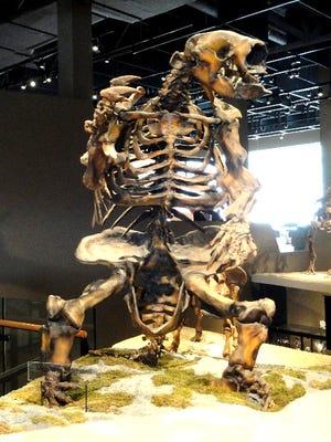 Jefferson's Ground Sloth on display.
