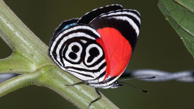 Dean and Sally Jue saw and photographed over 400 species of butterflies in South America.