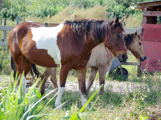 In this 2015 file photo, horses roam about freely at the Friends for Animals Sanctuary that's under development in Cocoa.