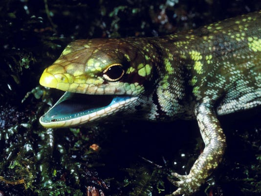 Science Says Green Blooded Lizards