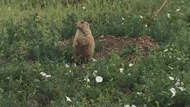 A prairie dog stands outside its burrow in Old Town North.