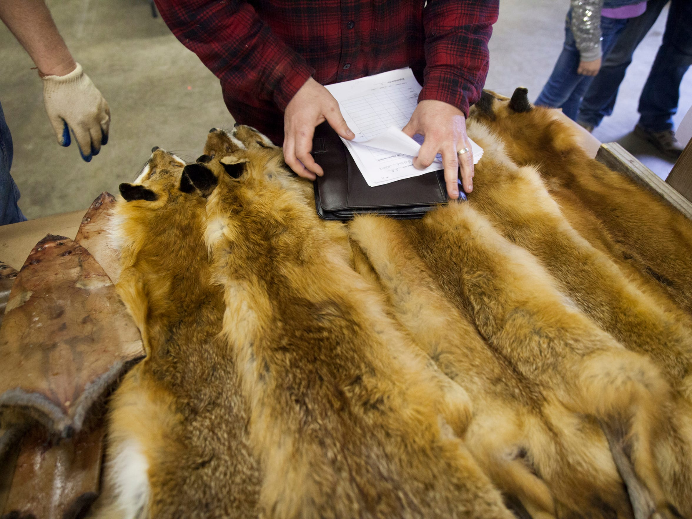Brian Lacey, a fur buyer at the Virginia Trappers Association annual auction, leafs through pages of notes on the condition of animal pelts for sale at Augusta Expo on Saturday, March 14, 2015.