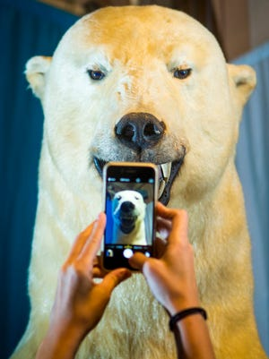 Maria Dehne, social media coordinator at Cincinnati Museum Center, takes a photo of the iconic polar bear on Monday before he was moved to the Downtown branch of the Public Library of Cincinnati and Hamilton County.