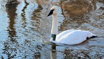 Wisconsin's oldest trumpeter swan was hatched from an egg collected on the first of nine trips to Alaska in 1989 to start the state's swan recovery program