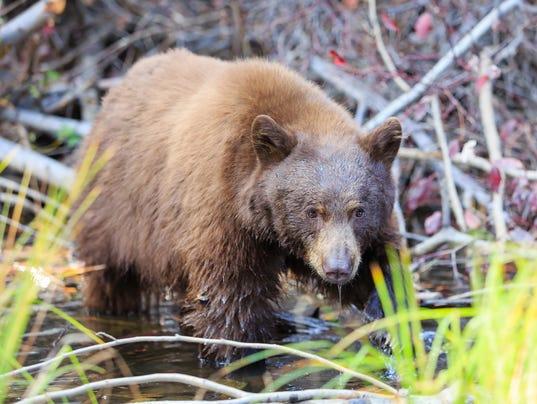 Bear, Lake Tahoe