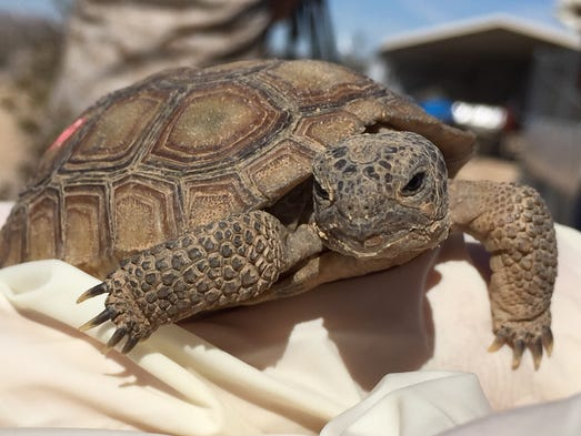 A 3-year-old desert tortoise at the Tortoise Research